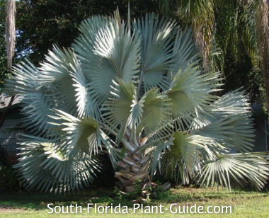 Commit mature palm trees for sale important answer