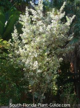 Large silver buttonwood shrub