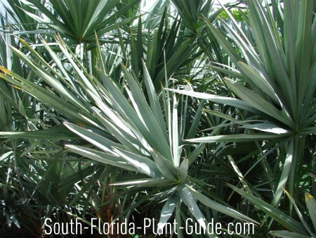 Silver saw palmetto foliage detail