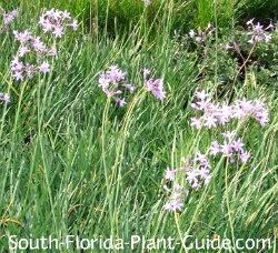 Lavender flowers of society garlic