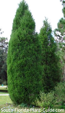 Pair of Southern red cedar trees