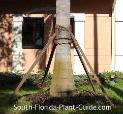 Staked royal palm
