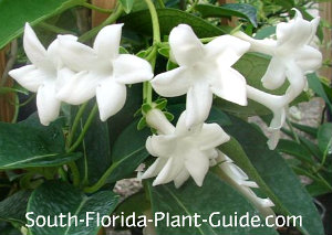 Stephanotis white flowers