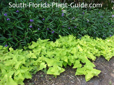 Yellow sweet potato vine planted in front of ruella