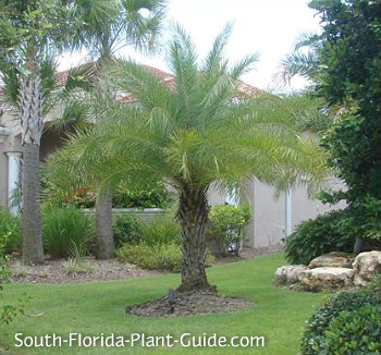 Sylvester palm in a home landscape