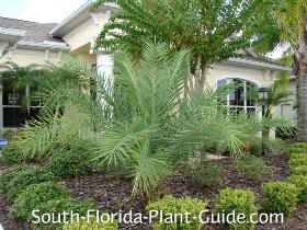 Young palm growing low to the ground in a front yard bed