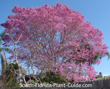 Tabebuia tree (ipe) in bloom
