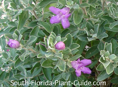 Texas sage silvery foliage and lavender flowers
