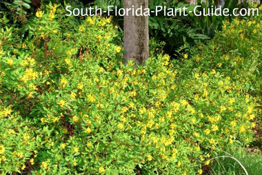 Thryallis yellow flowering thryallis around the base of a palm mightylinksfo