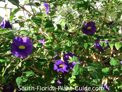 Thunbergia 'King's Mantle' deep purple flowers