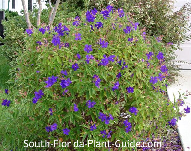 Tibouchina urvilleana full of purple blooms