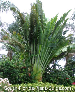 Travelers palm in a landscape