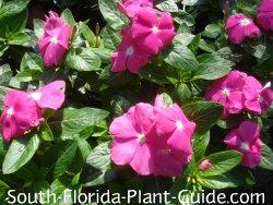 Bright pink vinca flowers