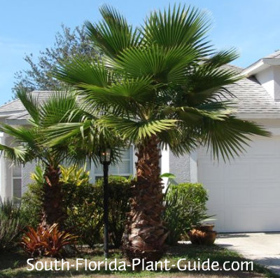 Young washingtonia palms in front of a home