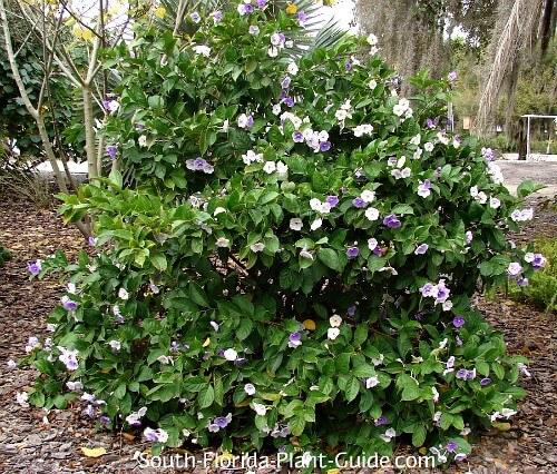 Grand arbuste en pleine floraison