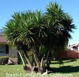 Large clustered yucca specimen