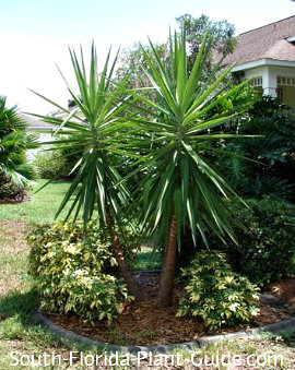Young multi-trunk yucca